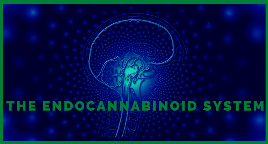 ENDOCANNABINOID SYSTEM: HOW DOES IT WORK?